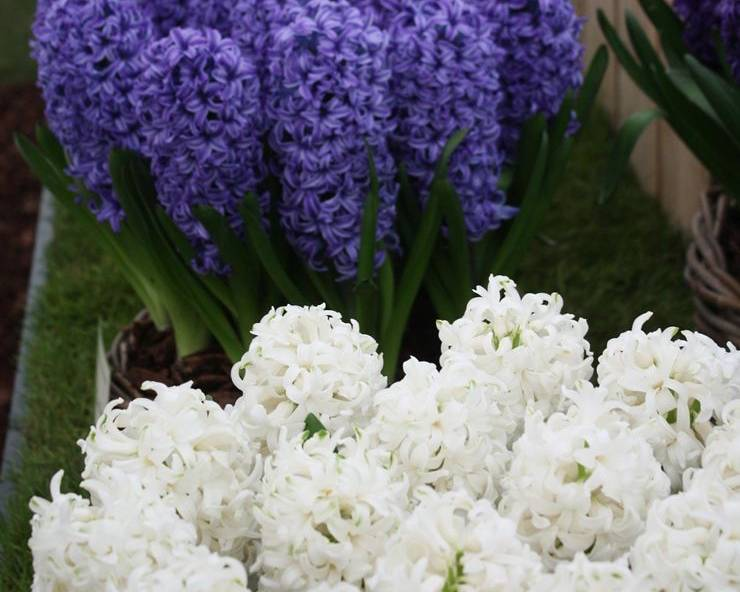 White and blue Hyacinth flowers