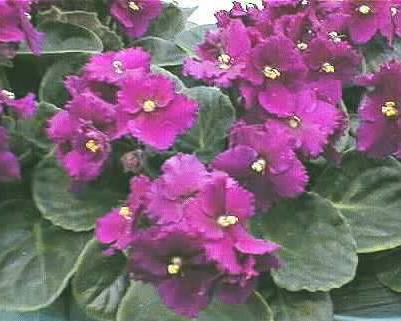 A picture of a African violet