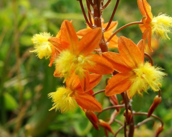A picture of a Stalked Bulbine