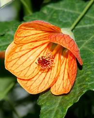 A photo of Flowering Maple