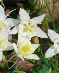 A photo of Columbine