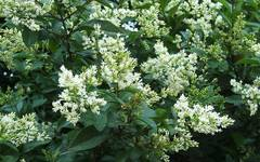 A photo of Privet