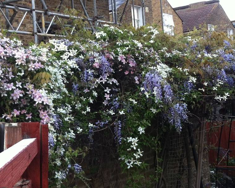 Clematis and Wisteria on a fence