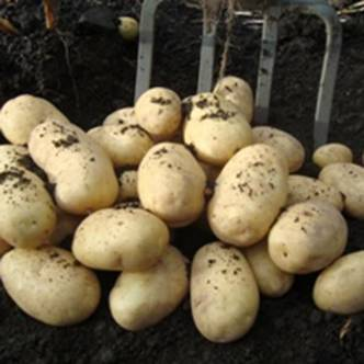 Potato tubers. Second Early. WILJA