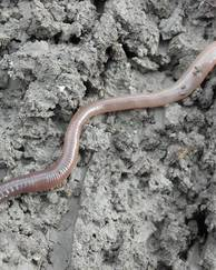 A photo of Earthworm