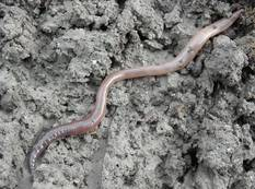 A close up photograph of an earthworm in the mud Lumbricus terrestris