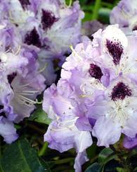 A photo of Rhododendron 'Blue Peter'