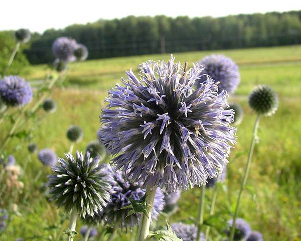 A picture of a Blue Globe Thistle