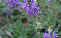 A photo of Plectranthus ornatus