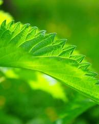 A photo of Stinging Nettle
