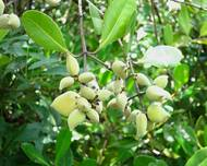 Avicennia officinalis fruit