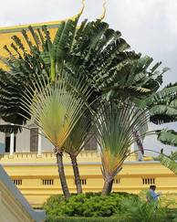 A photo of Traveller's Palm