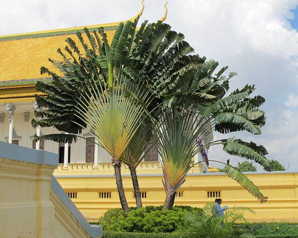 A picture of a Traveller's Palm