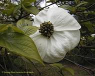 A photo of Nuttall's dogwood