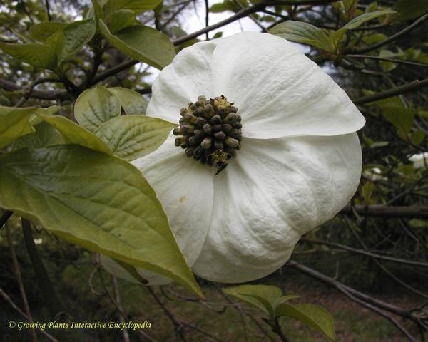 A picture of a Nuttall's dogwood