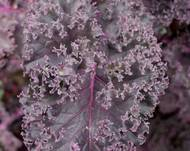 A close up of some purple Brassica oleracea var. sabellica plant leaves