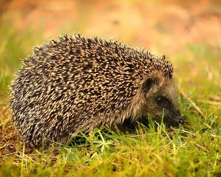 A super cute hedgehog on the lawn