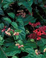 A photo of Clerodendrum splendens