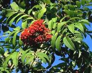 A photo of Sorbus scopulina