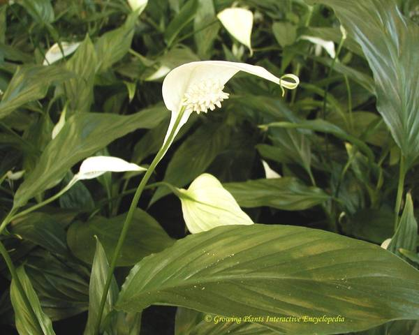 A picture of a Spathiphyllum 'Chopin'