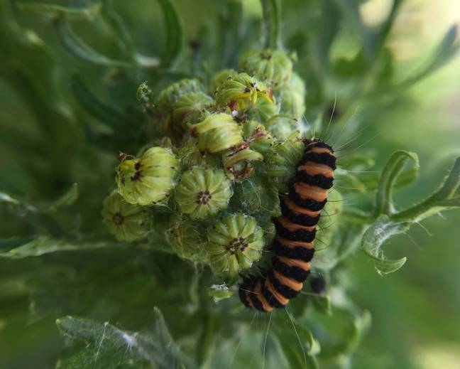 A close up of a orange black cinnabar moth Tyria jacobaeae caterpillar on a plant