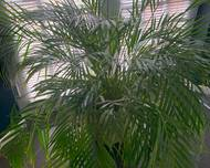 A photo of Bamboo Palm