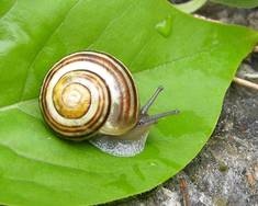 A Cepaea hortensis white lipped snail on a green leaf