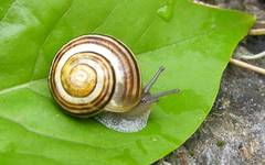 A photo of White-lipped Snail