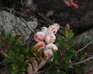 A photo of Gaultheria borneensis
