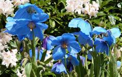 A photo of Meconopsis