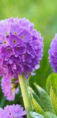 A photo of Drumstick Primula