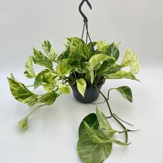 Pothos Marble Queen, Devil's Ivy, 15 cm hanging pot