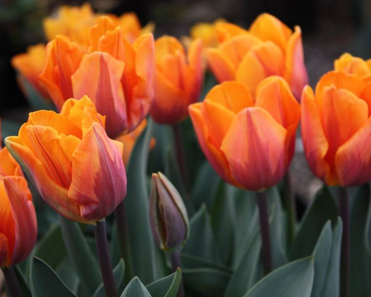 Alan Down's spring flowering tulips