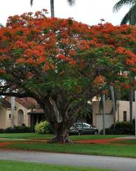 A photo of Flame Tree