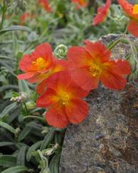 A photo of Rock Rose 'Fire Dragon'