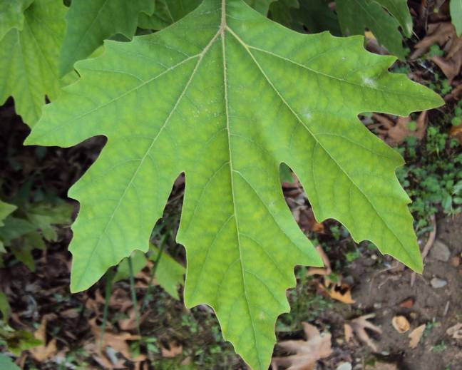 A close up of a large green Platanus orientalis leaf
