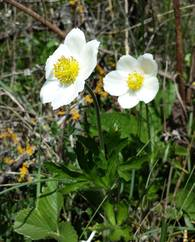 A photo of Snowdrop Anemone