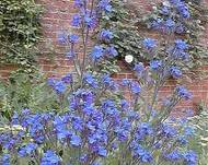 A photo of Garden Anchusa
