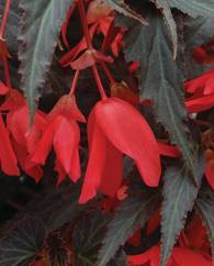 A photo of Begonia 'Million Kisses Elegance'