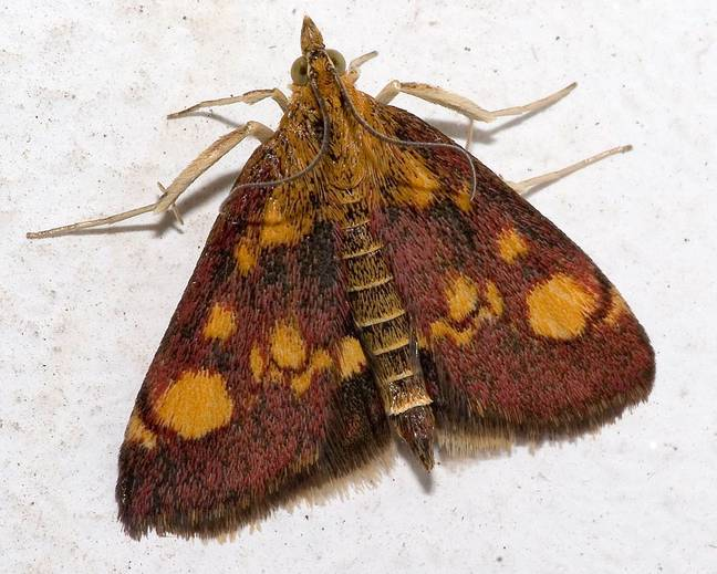 A close up image of a small mint moth Pyrausta aurata