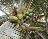 A photo of Coconut Palm
