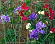 Mixed sweet peas 'Lathyrus odoratus' at Boreham, Essex, England 1