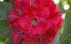 A photo of Rhododendron floribundum