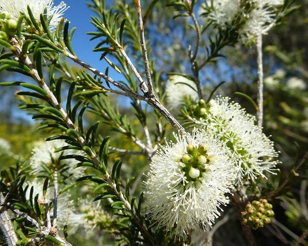 A picture of a Melaleuca
