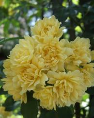 A photo of Banksia Rose