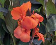 A photo of Canna Lily 'F1 Cannova Series'