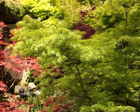A mixture of Japanese maples