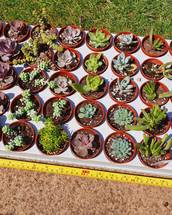 Home grown Succulents in 6cm pots