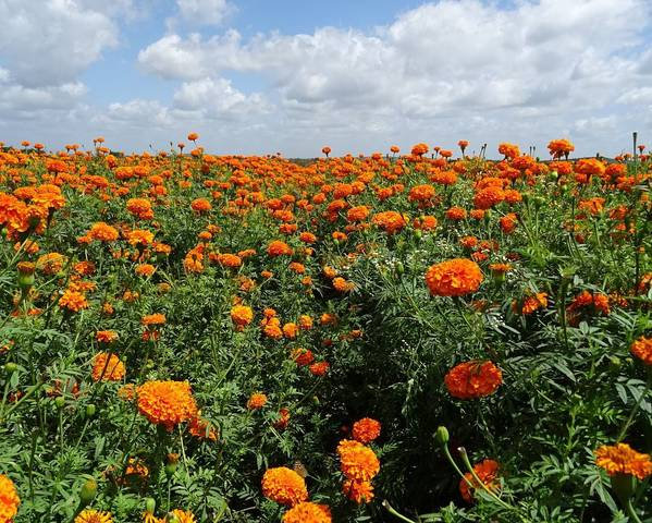 A picture of a African Marigold