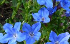 A photo of Purple Gromwell 'Heavenly Blue'